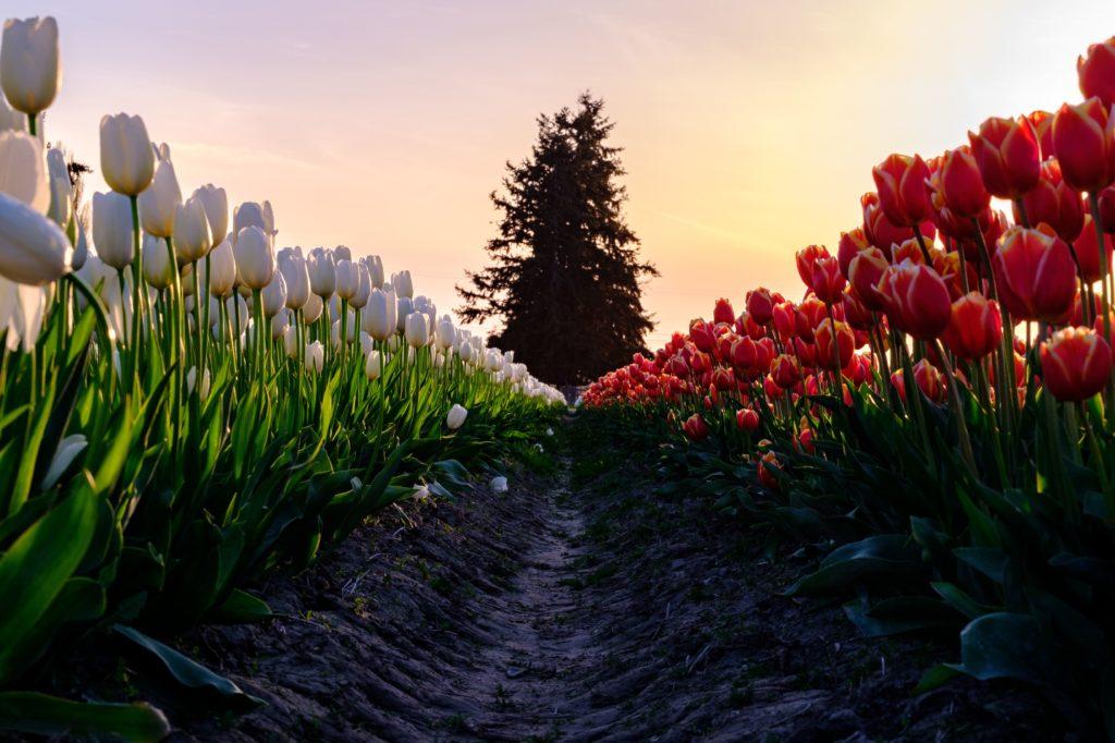 Tulpern in Nederland. Camper huren.